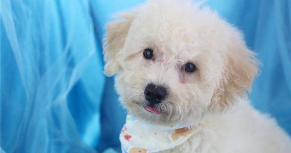 Malti Poo Maltipoo Puppy For Sale Near Greensboro North Maltipoo Maltipoos Maltipoo Puppies For Sale In 2020 Maltipoo Puppy Maltipoo Puppies For Sale Puppies For Sale