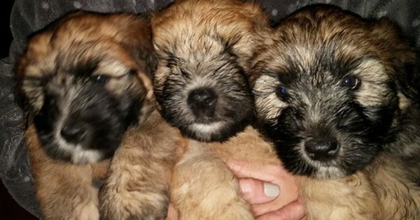Soft Coated Wheaten Terrier Puppy For Sale In Thomasville Nc Adn