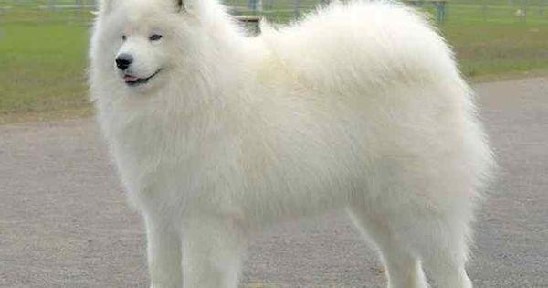 White Dog Breeds Big Big Fluffy White Dog Just All Cute
