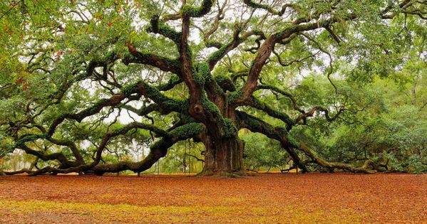 The Angel Oak Tree. Located between Kiawah Island and Charleston, SC. Estimated
