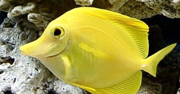 Tropical fish yellow tang salt water aquarium fish for Yellow fish tank water