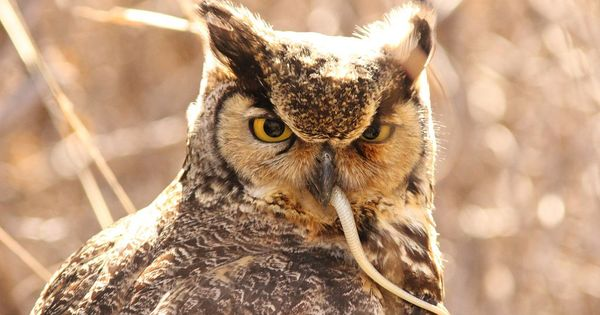 what is a great horned owls diet