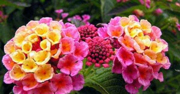 Lantana Pflanzen Schone Blumen Blumen Pflanzen