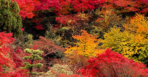 * Autumn colors at Kiyomizu-dera Temple in Kyoto, Japan travel