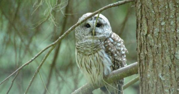Pacific Northwest Barred Owl That S Wild Pinterest