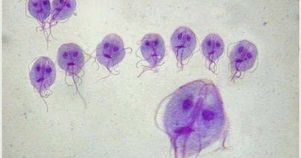 giardia histology stain erős gyógyszer minden típusú férgekhez