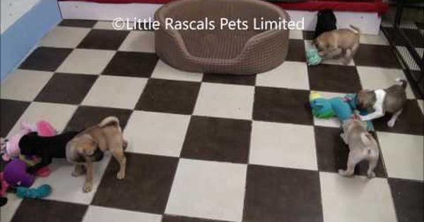 3 4 Pug Puppies Designer And Cross Breed Puppies For Sale Pugs
