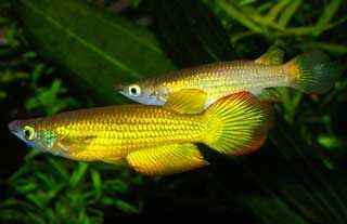 Golden Wonder Killifish I Just Bought One They Re Awesome And Theyr E Also Carnivores Fish Freshwater Aquarium Fish Tropical Freshwater Fish