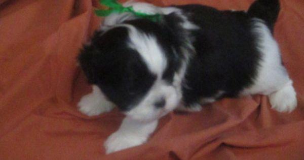 Litter Of 8 Shih Tzu Puppies For Sale In Murphy Nc Adn 28632 On Puppyfinder Com Gender Male Age 5 Weeks Old Shih Tzu Puppies For Sale Shih Tzu Puppy