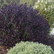 Black Beauty Is A Small Evergreen Shrub With Dark Purple To Black Foliage And Purple Flowers That Appear From Summer Un Purple Shrubs Plants Garden Makeover