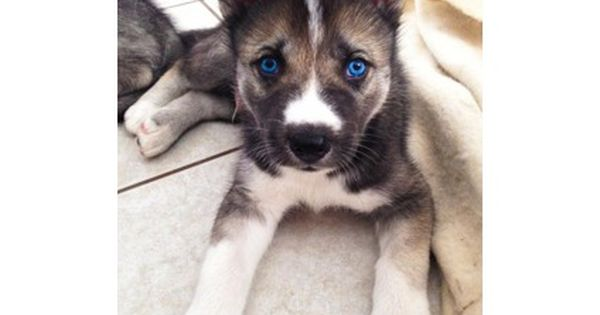 Pin By Tineke De Jong On Dogs In 2020 Husky Puppy Puppies Pet Dogs Puppies