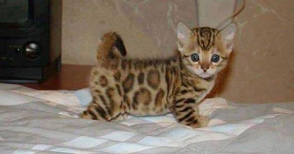 Cute Asian leopard cat adorablebabyanimals Pinterest