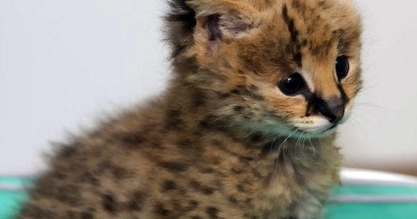 Jumping Turkey Cats Kittens Con Imagenes Animales Exoticos