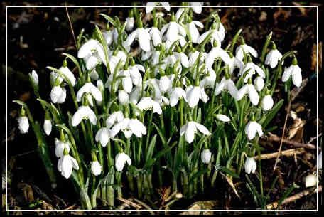 Snowdrop Flower Bulbs For Sale 1 Jpg 456 305 Hedging Plants Flower Bulbs For Sale Bulb Flowers