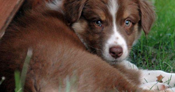 Bridget The Australian Shepherd Australian Shepherd Puppies Australian Shepherd Cute Dogs And Puppies