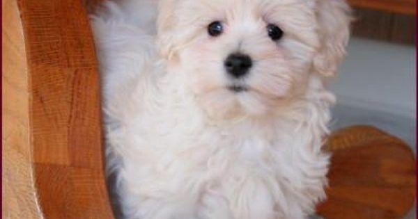 Maltipoo Adult Google Search Maltipoo Puppy Maltipoo Dog Puppies
