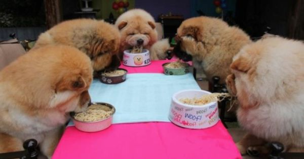 Cheeky Chow Chows Chow Chow Dog Puppy Chow Chow Puppy Cute Dogs