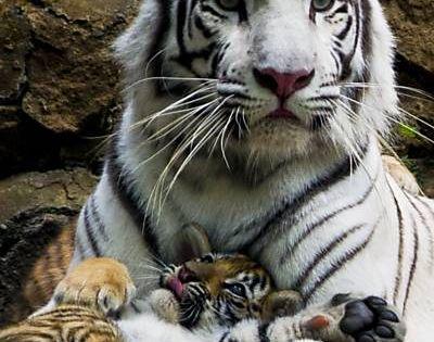 """Filhote de tigre descansa no """"colo"""" da mãe no zoológico de Cali,"""