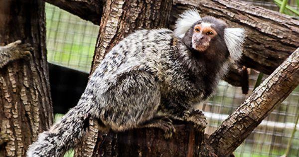Common Marmoset Monkeys Have Arrived Queensland Zoo Official Site Queensland Zoo Official Site Common Marmoset Marmoset Monkey Cute Monkey
