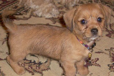 Shih Tzu Dachshund Mix Puppies Lucy The Schweenie Puppy At 8