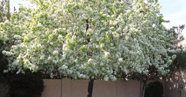 Las Vegas Flowering Trees Flowering Pear Trees For Sale Moon