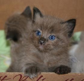Cincinnati Ohio Ragdoll Kittens Ohio Ragdoll Kittens Mink