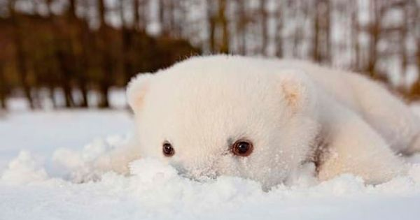 baby polar bear cub cute snow animal wild
