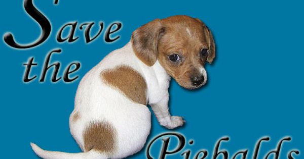 Save The Piebalds Dachshund Love Piebald Dachshund Dachshund