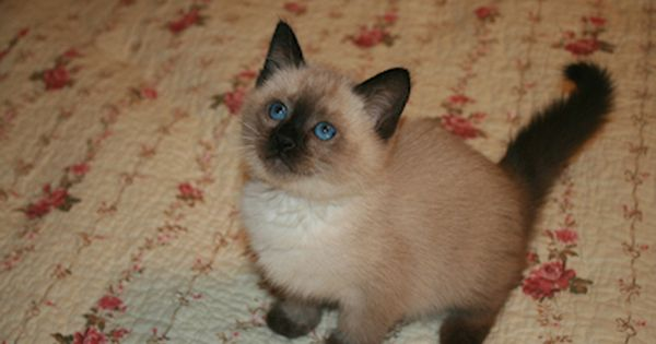 Traditional Siamese Lynx And Balinese Kittens For Sale Balinese Cat Kitten Adoption Popular Cat Breeds