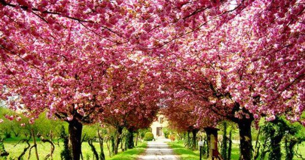 The Flip Side Pink Trees Beautiful Tree Blossom Trees