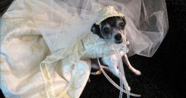 Pin By Alicia Jordan On Chihuahuas Dog Wedding Dress Pet Clothes Dog Dresses