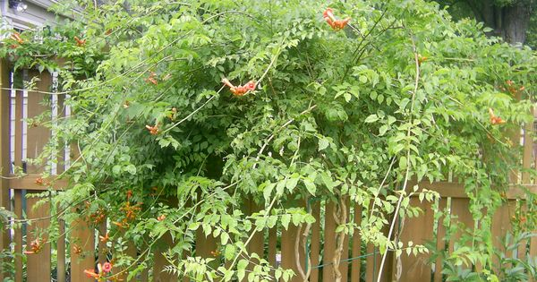 how to grow trumpet vine from cutting