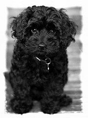Cavoodle Black Google Search Cavapoo Puppies Dogs Dog Crossbreeds