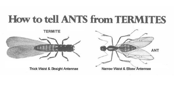 Difference Between Ants & Termites | Termites | Pinterest ...