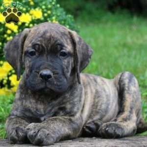 Aaron Presa Canario Puppy For Sale In Pennsylvania Puppies