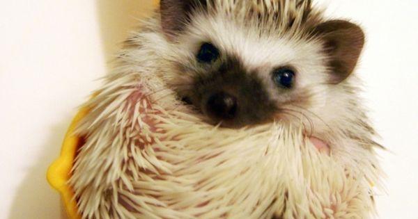 Haha aww! pet hedgehog in measuring cup