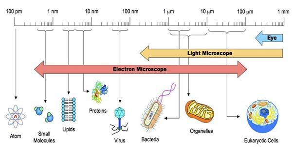 Size Of Bacterial Cells Cell Theory Bacteria Shapes Eukaryotic Cell
