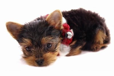 adorable petit b b yorkshire terrier avec le rouge et le blanc de no l collier chiot isol. Black Bedroom Furniture Sets. Home Design Ideas