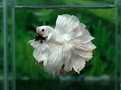 Betta fish kitty cats and other friends pinterest for Betta fish friends