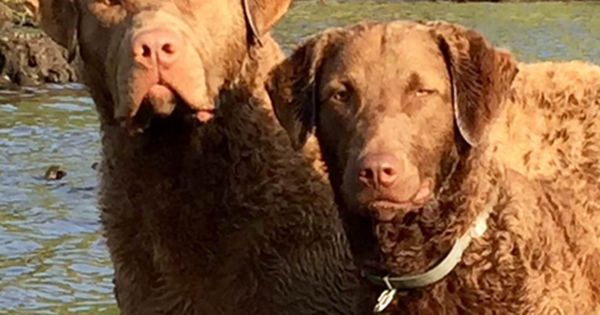 Chesapeake Bay Retriever Puppy For Sale In Egg Harbor City Nj Adn 25649 On Puppyfind Chesapeake Bay Retriever Puppy Puppies For Sale Chesapeake Bay Retriever