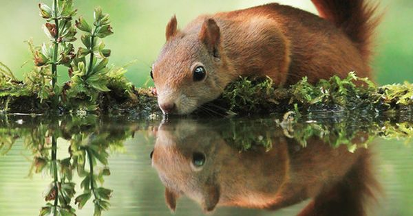 As part of this year's Big Garden Birdwatch the RSPB are also asking how often you see red squirrels in your garden or local area.
