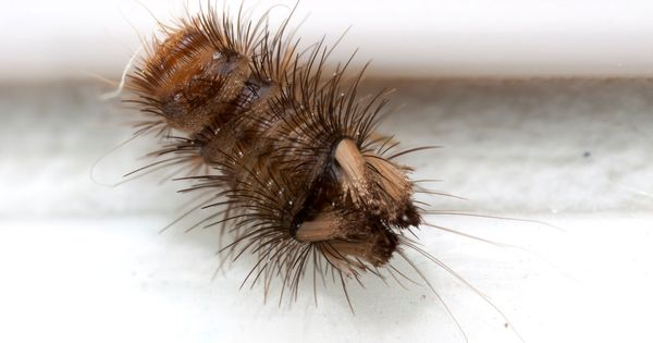 Varied Carpet Beetle Anthrenus Verbasci Larva David Kennard Beetle Carpet Larvae