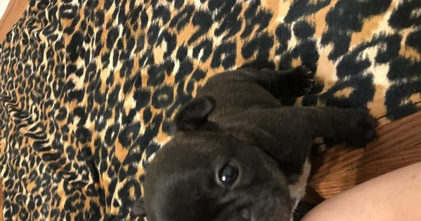 We Are Quality French Bulldog Breeders Located In Upstate New York