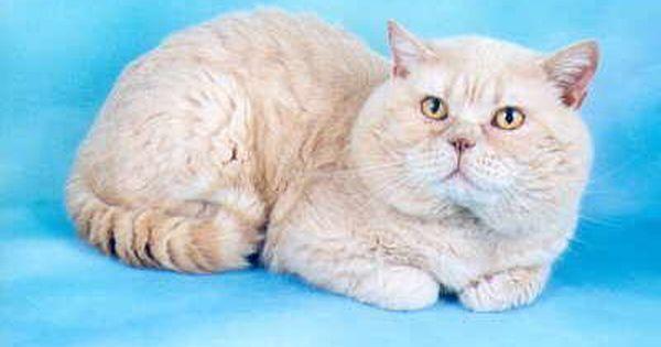 Miletree British Short Hair Cats Pedigree Cats British Shorthair Cats Chartreux Cat