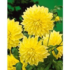 Loves These Dahlias Wish They Weren T Annuals Winter Plants Flower Images Planting Bulbs
