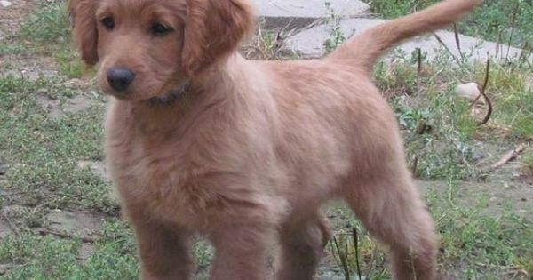 OMMMMGGGG.....golden cockerretriever (full grown); a puppy that looks like a puppy forever!