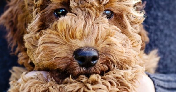 labradoodle - possibly the cutest dog ever