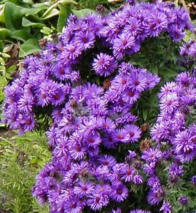 Aster These Are Very Pretty Purple Color Would Work Well With Silvery Colored Foliage New England Purple Flowers Aster