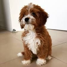 Image Result For Cavoodle Dog Full Grown Cavapoo Puppies