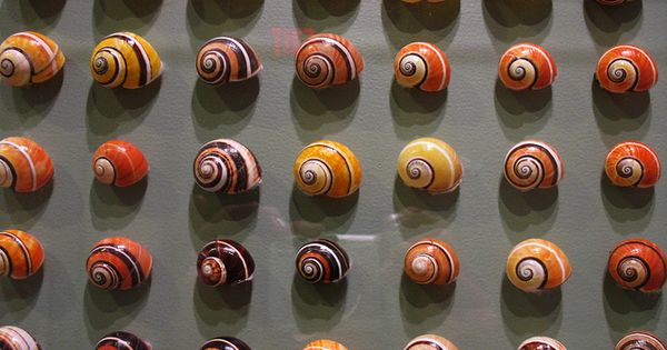 cuban snails - Google Search